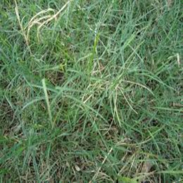 how to grow durva grass